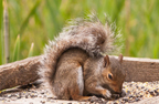 Grey Squirell